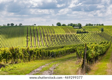 Vineyard in the area Velke Bilovice, the largest wine village in Moravia, Czech Republic