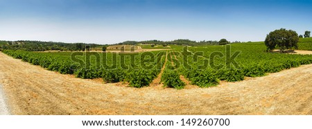 vineyard in the foothills of the Sierra Nevadas, near Plymouth and Fiddletown, California - stock photo