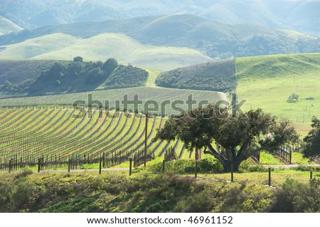 vineyard in the green hills in spring - stock photo
