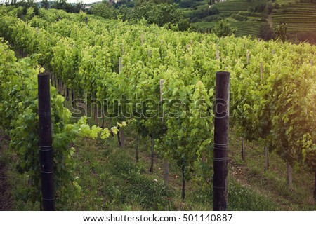 Vineyard in the morning, grapevines in row