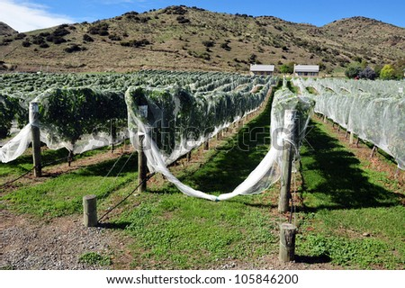 Vineyard in the South Island, New Zealand. - stock photo