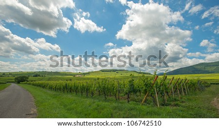 Vineyard in the sunny Alsace