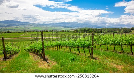Vineyard in the  Valley San Quirico d Orcia in Tuscany, Italy - stock photo