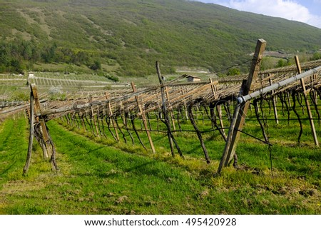 Vineyard in the wine growing region of Trentino, Italy.