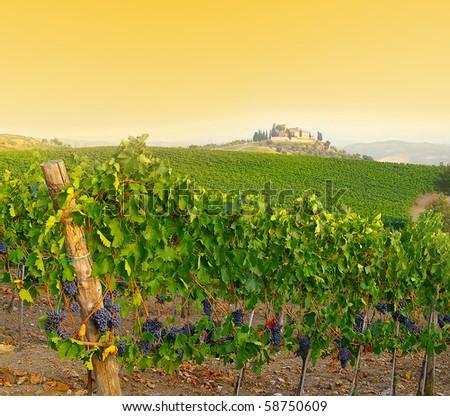 Vineyard in Tuscany, Italy at dusk - stock photo