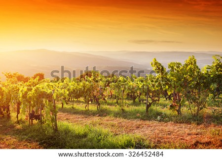 Vineyard in Tuscany, Italy. Picturesque wine farm at sunset. Ripe grapes - stock photo