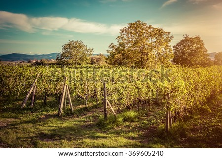 Vineyard in Tuscany, Italy. Wine farm at sunset in vintage style. Ripe grapes