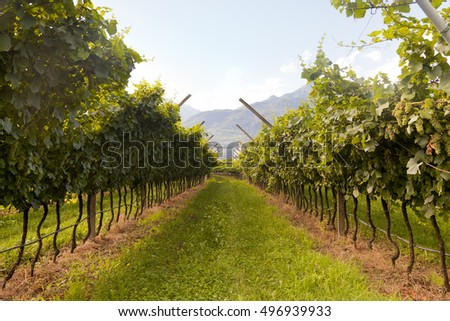 Vineyard in Valdobiaddene, Italy. Agricultural nature for Prosecco winery