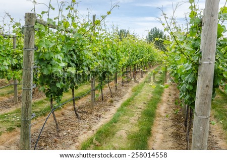 Vineyard in Vancouver Island, Canada - stock photo