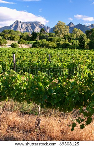 vineyard in western cape south africa, grapes are grown for making wine - stock photo