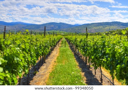 Vineyard in wine country, Osoyoos, British Columbia, Canada. - stock photo