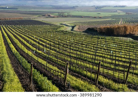 vineyard in winter, Sicily, Italy, Europe