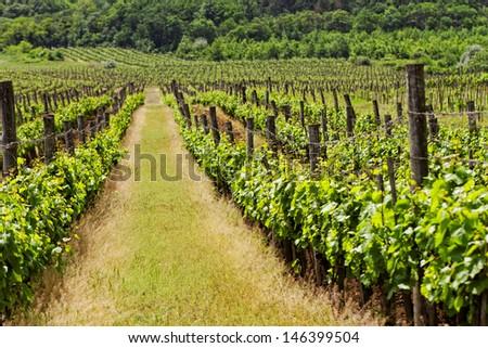 vineyard langscape - stock photo