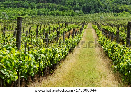 vineyard langscape - stock photo