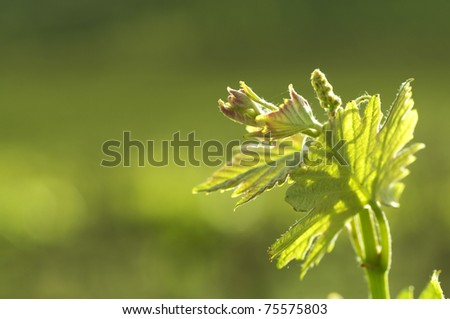 Vineyard leaves early spring - stock photo