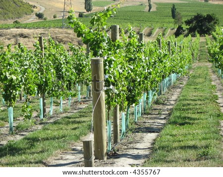 Vineyard near Queenstown, New Zealand