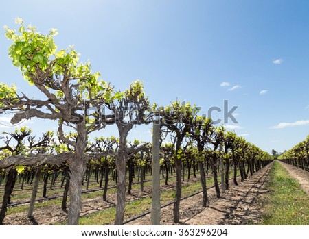 Vineyard near Renmark Australia