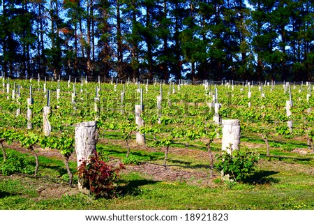 Vineyard of grapes