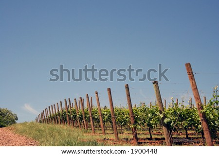 Vineyard on a hill in summer - stock photo