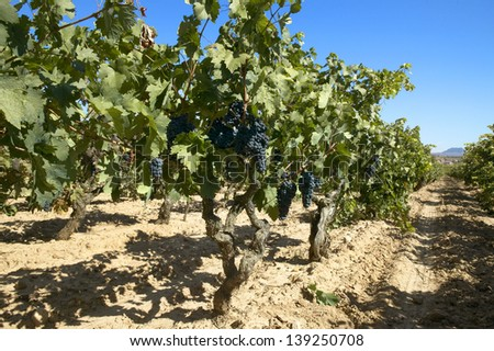 Vineyard on harvesting time at spanish sunny landscape