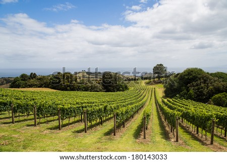 Vineyard on the hillside, Waiheke island in Hauraki Gulf, New Zealand
