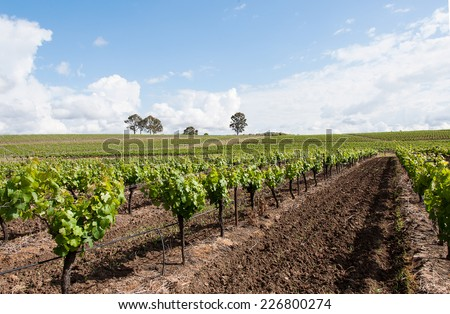 vineyard row of grapes, hunter valley, new, australia