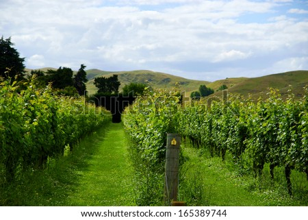 Vineyard rows in Hawkes Bay New Zealand - stock photo