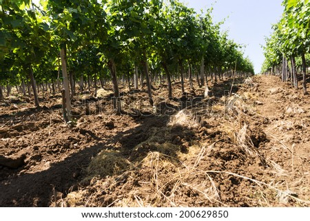 Vineyard rows in sunny day, brown soil with green foliage - stock photo