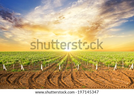 Vineyard summer landscape, bright sunset at the valley of grapes, agricultural industry at harvest season