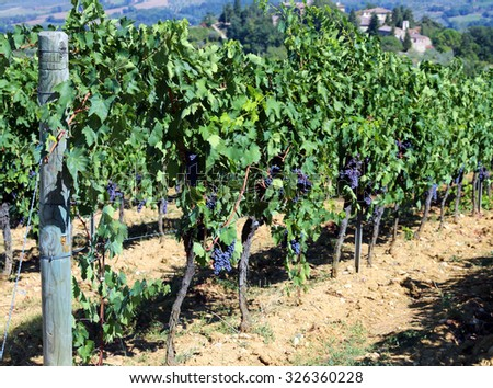 Vineyard with grapes in the countryside in late summer