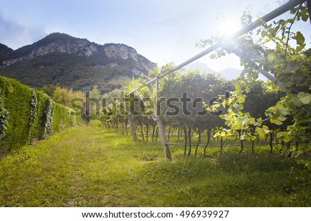 Vineyard with green and yellow sunny leaves in Valdobiaddene, Italy. Agricultural nature for Prosecco winerys