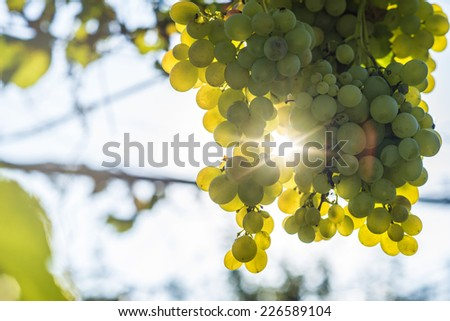 Vineyard with homegrown grapes - stock photo