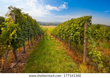 Vineyard with long lines in the central Europe - stock photo