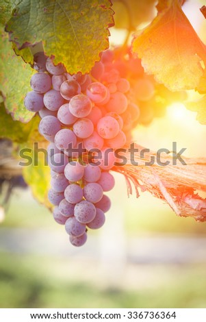 Vineyard with Lush, Ripe Wine Grapes on the Vine Ready for Harvest. - stock photo