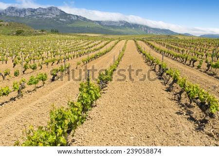 Vineyard with Paganos as background, Rioja Alavesa, Basque Country (Spain) - stock photo