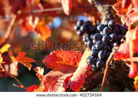 Vineyard with red grape in autumn