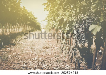 Vineyard  with Sunlight in Autumn with Vintage Film Style Filter - stock photo