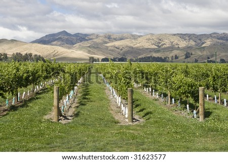 Vineyard with view on mountain range in New Zealand - stock photo