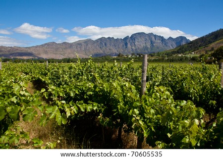 Vineyard with vines in the foreground - stock photo