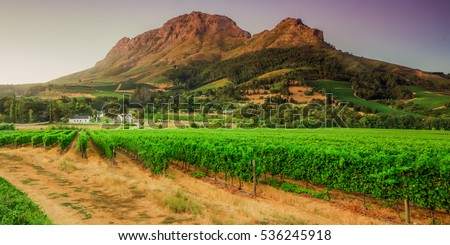 vineyards and Helderberg Mountain near Stellenbosch at sunset, Western Cape, South Africa on the 11th of febuary 2010 in Stellenbosch, South Africa.