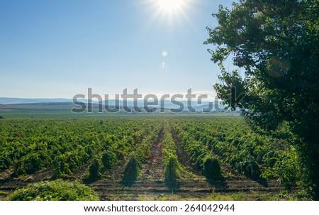 Vineyards and tree, sunny day - stock photo