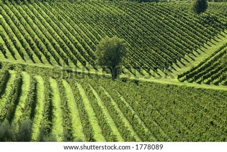 Vineyards angle across the rolling hills of Northern Italy - stock photo
