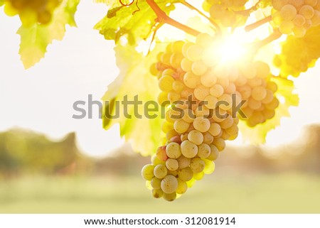 Vineyards at sunset in autumn harvest - stock photo