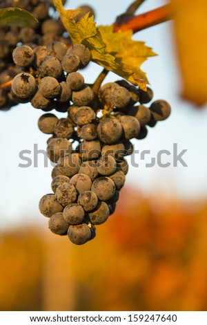 Vineyards at sunset in autumn harvest. Nature background with Vineyard. Wine concept. low depth of focus   - stock photo