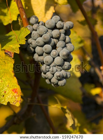 Vineyards at sunset in autumn harvest. Nature background with Vineyard. Wine concept. low depth of focus