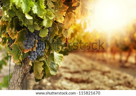 Vineyards at sunset in autumn harvest. Ripe grapes in fall. - stock photo