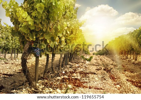 Vineyards at sunset in autumn harvest. Ripe grapes in fall.Cluster grapes on left - stock photo