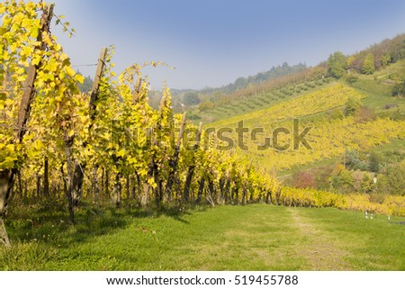 vineyards in autumn colors autumn vineyards in the mountains of Italy