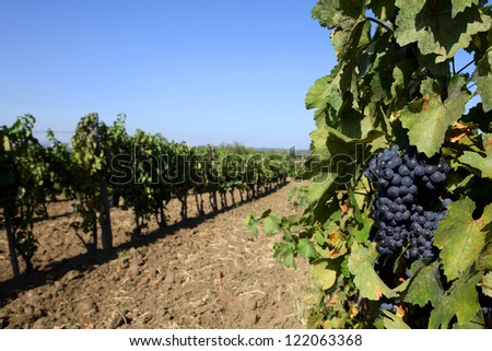 Vineyards in autumn harvest. Ripe grapes. - stock photo