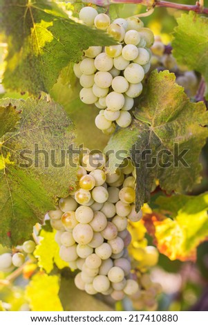 Vineyards in autumn harvest. Ripe grapes - stock photo